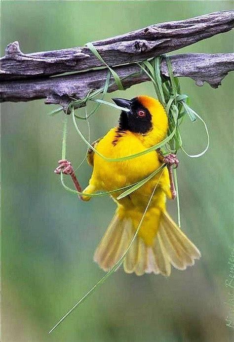 weaving a nest birds pinterest