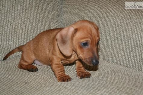 local puppy breeders local puppies for sale small dogs for sale breeders pets world