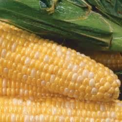 bi color corn ambrosia sweet corn elk mound seed company
