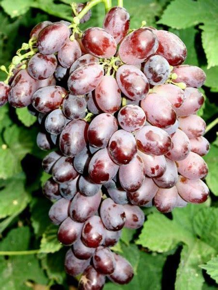 Bibit Tanaman Anggur tanaman anggur chocolate 15 20 cm bibitbunga
