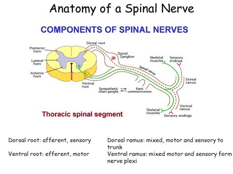 sensory motor and mixed nerves week 11 the spinal cord ppt