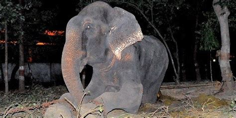 Raju The Elephant Cries After Being Rescued Following 50 ...