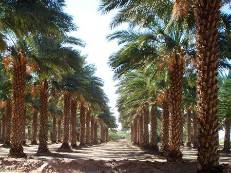 palm trees  sale san diego california west coast trees