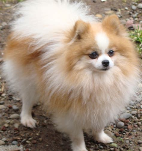 where pomeranians come from orange pomeranians pictures models picture