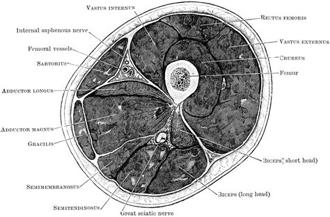 transverse cross section transverse section through thigh clipart etc