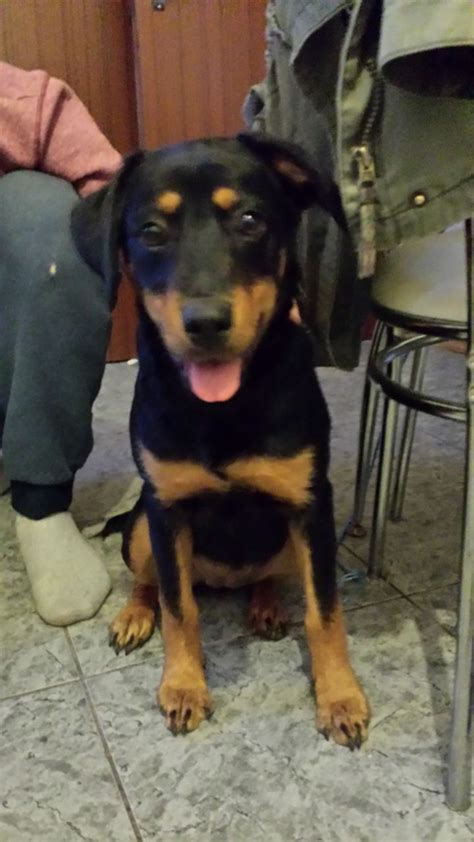 5 month rottweiler 5 month rottweiler puppy ludlow shropshire pets4homes