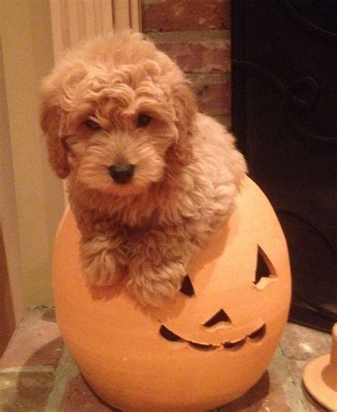 mini goldendoodles midwest 1000 ideas about mini goldendoodle breeders on