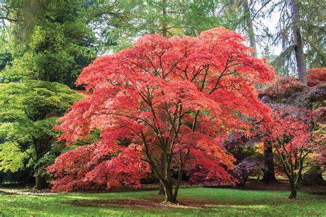 maple tree in the garden japanese maples crozet gazette