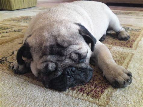 pug sleeping top 10 things pugs don t like