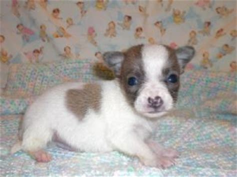 cheap teacup chihuahua puppies for sale cheap teddy puppies for sale in michigan breeds picture