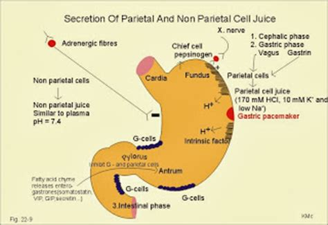 fundus of stomach function surgseminar stomach secretions cell variety function