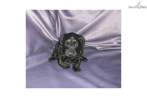 yorkie poo puppies for sale in des moines iowa yorkiepoo yorkie poo for sale for 400 near des moines iowa 8cc018c5 6ec1