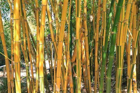 bambusa vulgaris vittata painted bamboo