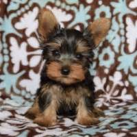 teacup yorkies for sale in md va dc puppies for sale in pa ridgewood puppies for sale