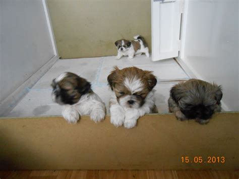 shih tzu puppies for sale in east pedigree shih tzu puppies for sale hull east of pets4homes