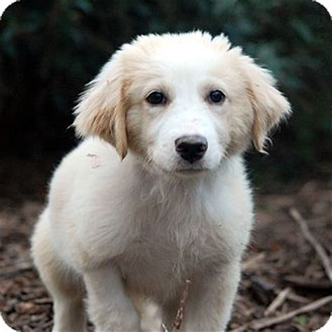 great pyrenees golden retriever mix puppies great pyrenees golden retriever mix breeds picture