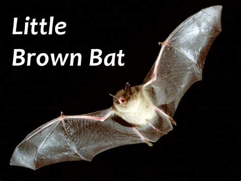 best 28 facts about brown bats bat removal lake