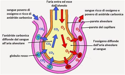 vasi polmonari apparato respiratorio biotech02 appunti