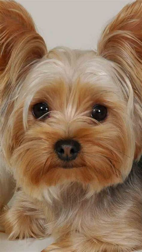 how much to feed a yorkie puppy yorkie barking is your terrier barking breeds picture
