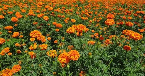 information about rose farming marigold farming information detailed guide agri farming