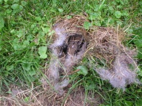 what to do with baby bunnies in backyard baby rabbits in the front yard