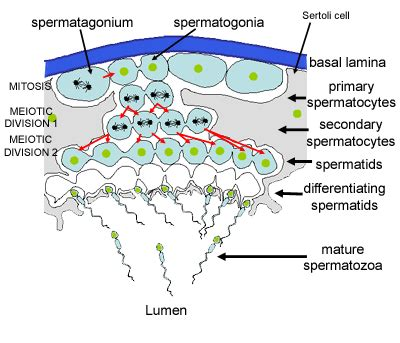 seminiferous tubules diagram histology guide