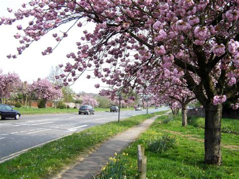 best 28 blossom hill trees blossom hill trees awesome 3d wallpapers