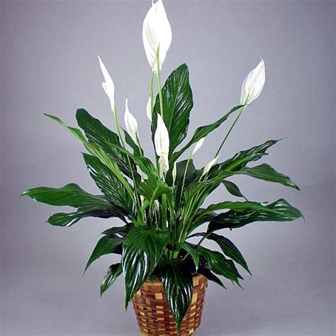 peace lily peace lily g 2 magic city floral