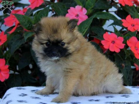 teacup pomeranian puppies for sale in pa caramel pomeranian puppy for sale in bird in pa pomeranians