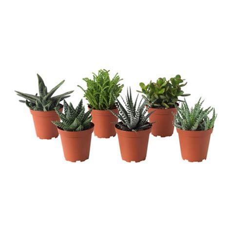 ikea vasi piante succulent pianta da vaso ikea