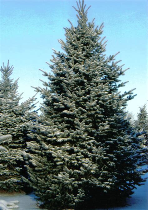 colorado blue spruce trees buy online at nature hills colorado blue spruce tree farm nursery sale arbor hill