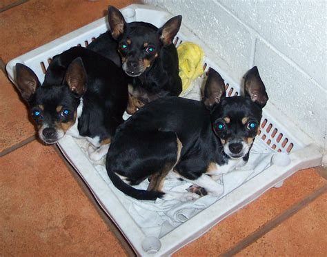 chihuahua puppies wisconsin file three chihuahua puppies in a basket jpg wikimedia commons