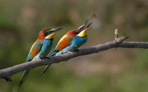 bee eater wallpapers first hd wallpapers european bee eater full hd wallpaper and background