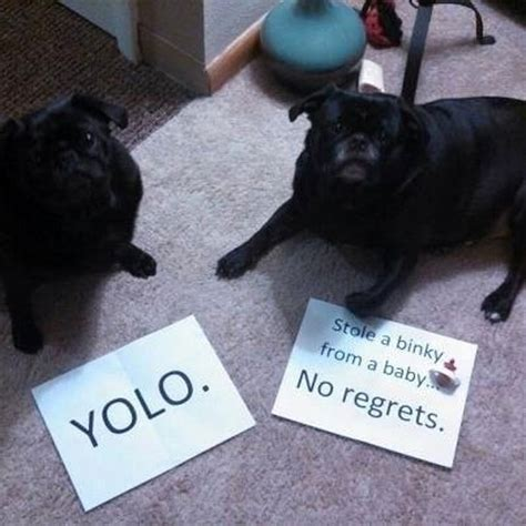 pug shaming 17 pugs who got shamed by their owners viral circus