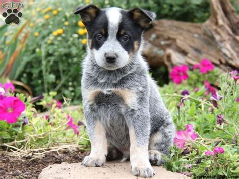 australian cattle puppies for sale in pa drummer blue heeler australian cattle puppy for sale from narvon pa things