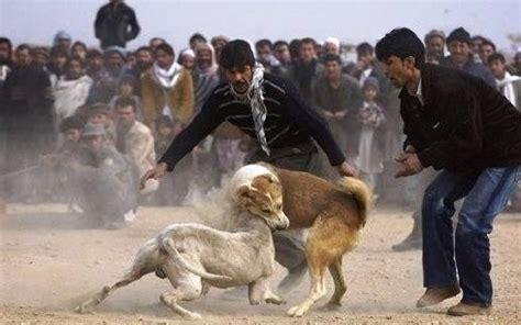 imagenes violentas reales extrema crueldad peleas de perros verde despertar