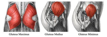 glute muscles diagram gluteal muscles the mobile therapist
