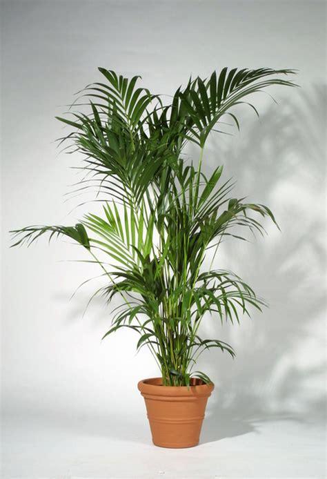 Ikea Pictures by Planters Punch Ihr Pflanzenverleih In M 252 Nchen Kentia
