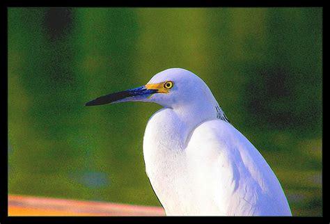 egret color egret water color photograph by richard copeland