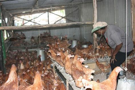 2015 nigeria poultry business plan for layers and broilers how to start a successful poultry farming business in 2016