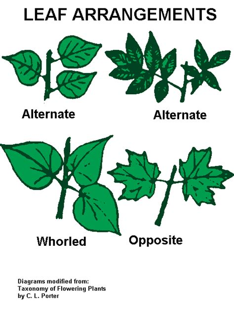 the pattern of leaf arrangement is called stems vascular tissue montana science partnership