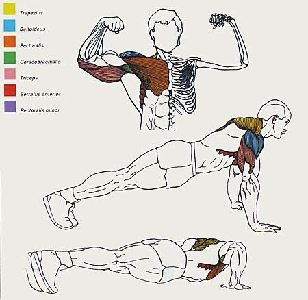 push up diagram 21 best pushups images on chest exercises