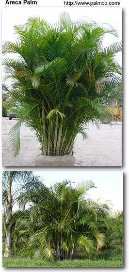 Bedroom Safe Plants Areca Palms Indoor Plants That Clean Indoor Air And Are