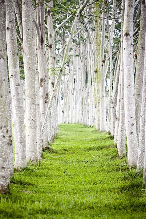 trees pathway landscape birch amazing photos and paths