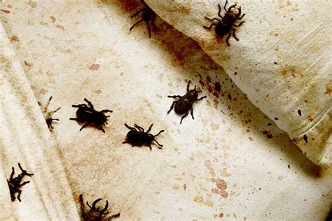 can bed bugs be black easy ways to check your room for signs of bed bugs