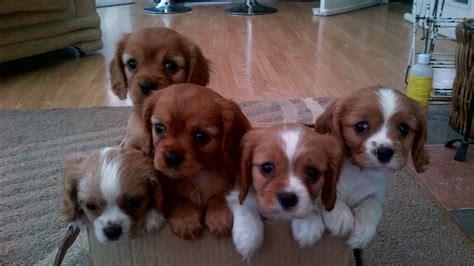 king charles puppies for sale pictures of children and their pets 4 breeds picture
