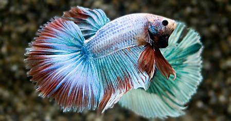 betta splendens alimentazione auryfish pesci di acqua dolce betta splendens half