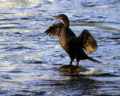 picturespool beautiful water birds pictures