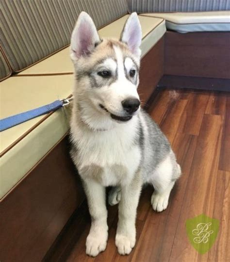 husky puppies for sale san diego husky puppies grey husky puppies husky puppies for cheap husky puppies breeds