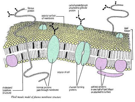 cell membrane labeled diagram plasma membrane diagrams diagram site